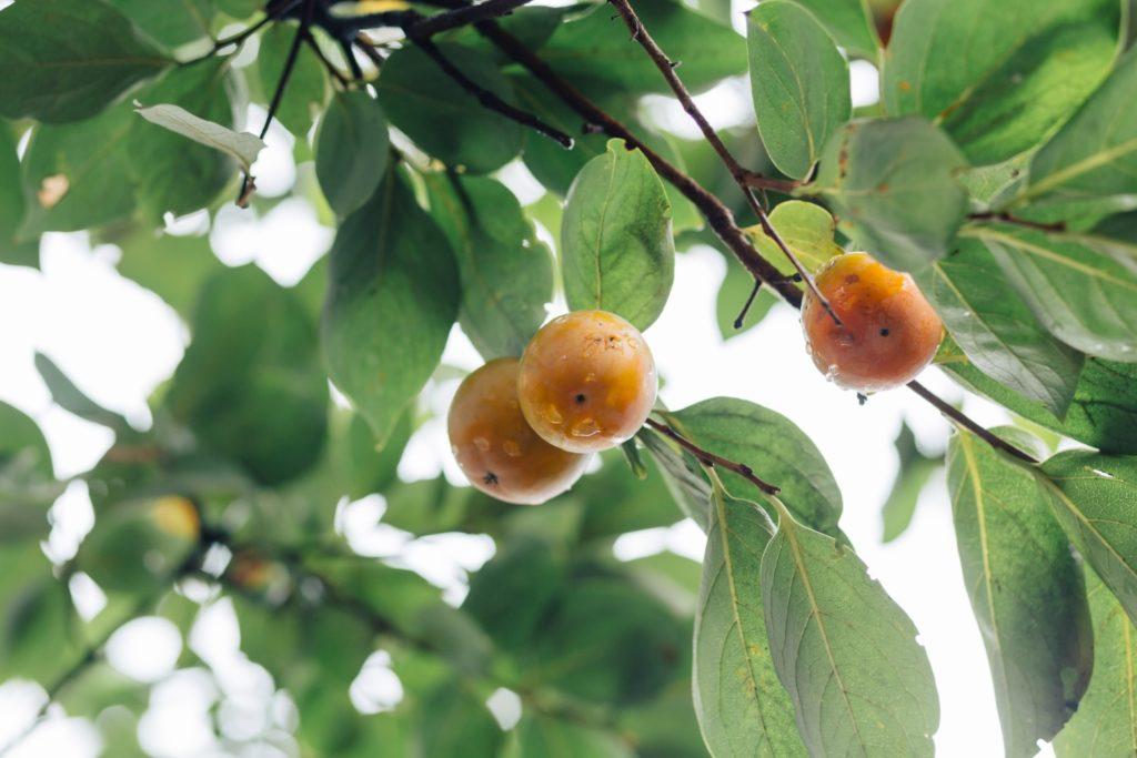 カキノキテラス 柿の実